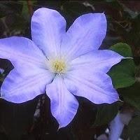 Grow A Blue Garden: Clemantis Ice Blue