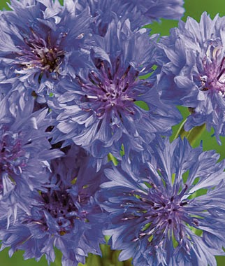Grow a Blue Garden: Cornflower Blue Boy