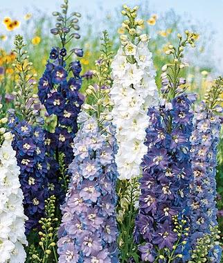 Grow a Blue Garden: Delphinium Fantasia Mixed Colors