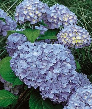 Grow a Blue Garden: Hydrangea Nikko Blue