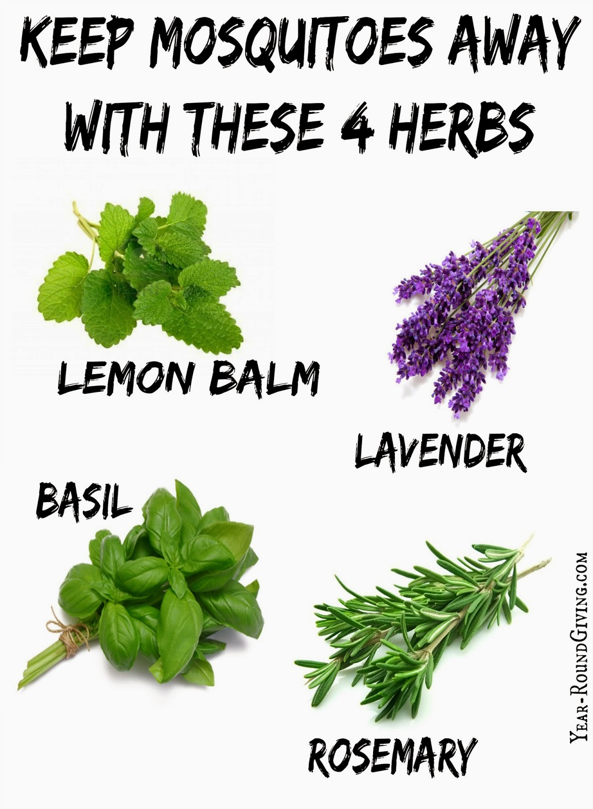 Herbs that keep mosquitoes away daily appetite - Mosquito repellent plants ...
