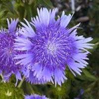 Grow a Blue Garden: Stokes Aster
