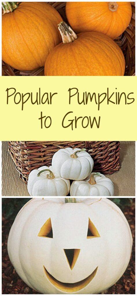 Popular Pumpkins to Grow 1